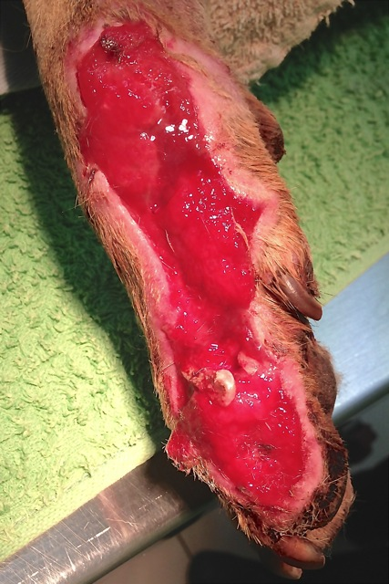 granulating wound