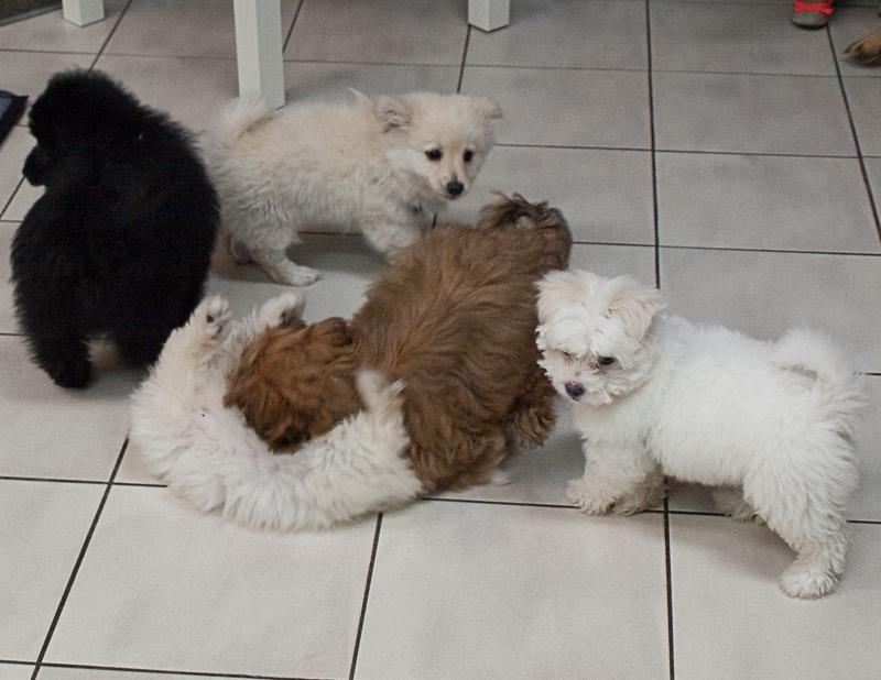 puppies socialising at puppy preschool