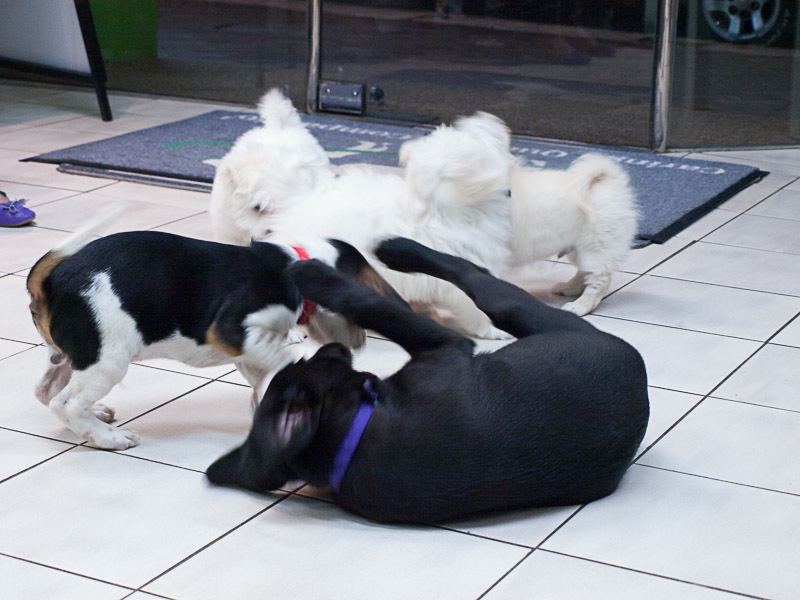puppies at puppy preschool
