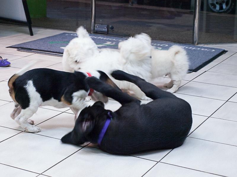 puppies at puppy preschool
