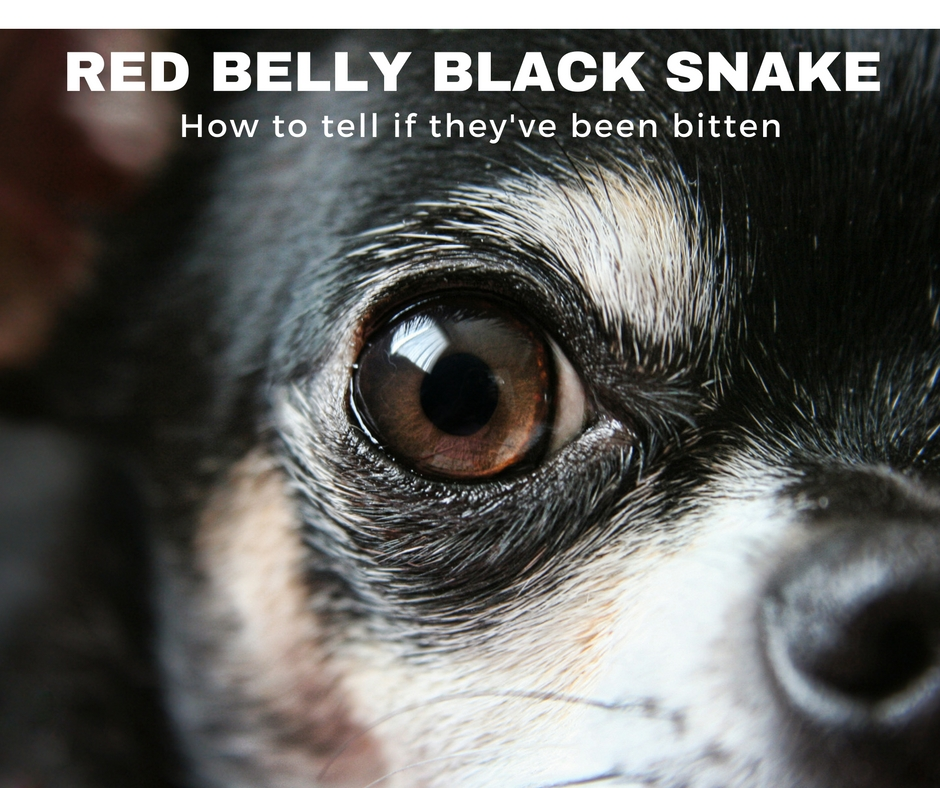 Red Belly Black Snake Bite In Dogs