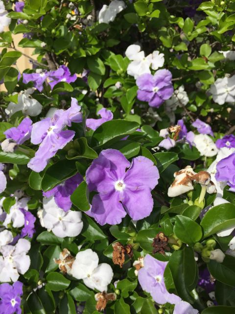 brunfelsia flowers with purple shades and white flowers