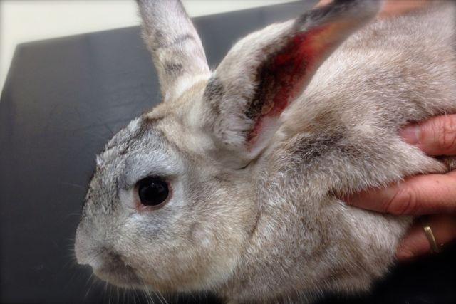 Crusty Rabbit Ears Companion Animal Veterinary Hospital
