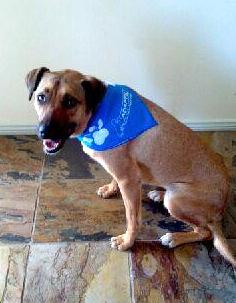 Bekky's dog Izzy wearing a bandana sprayed with adaptil