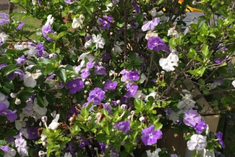 A brunsfelsia shrub