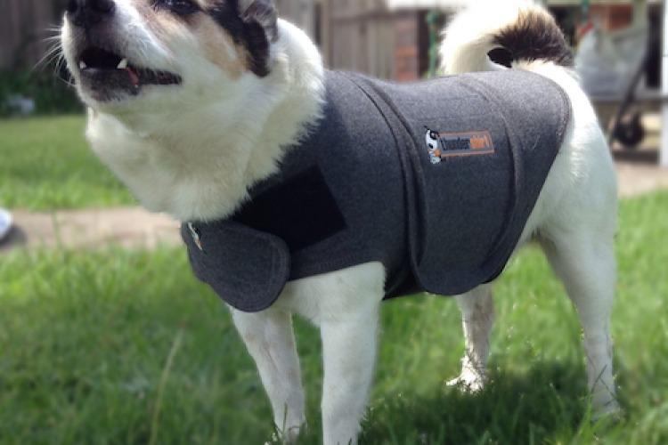 Mintie wearing a thundershirt