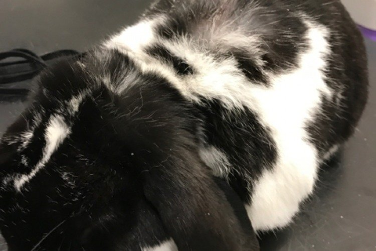 A black and white lop ear rabbit with dandruff