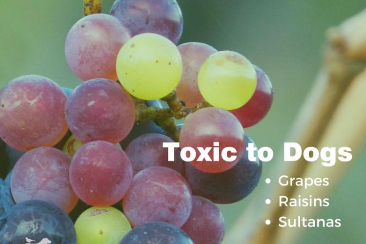 Toxic to dog: grapes, raisins and sultanas