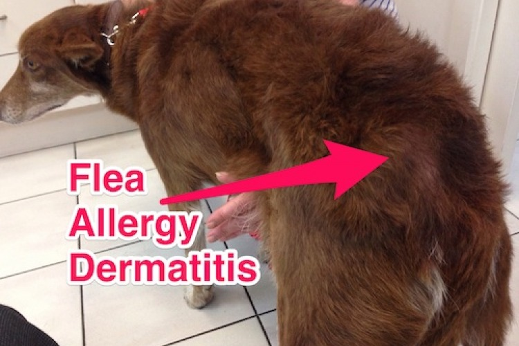Home Treatment For Flea Allergy Dermatitis In Dogs