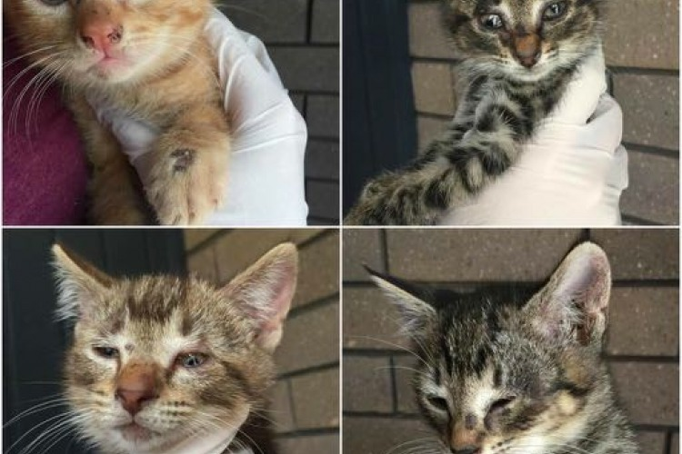 4 kittens with ringworm
