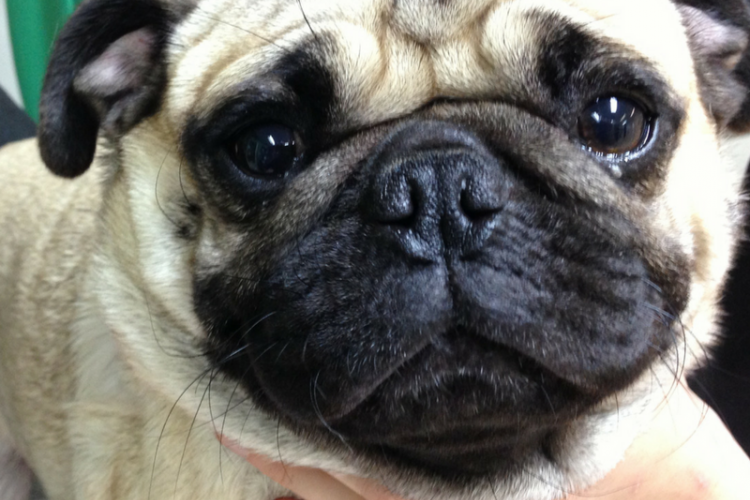 a pug with stenotic nares
