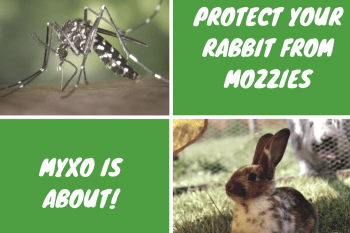 Protect your rabbit from mozzies, my old is about