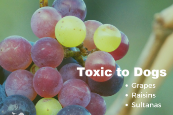 Toxic to dog: grapes, raisins and sultanas