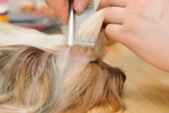 dog having fringe combed