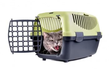 cranky cat in a travel cage