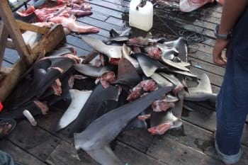 sharks chopped up into bits