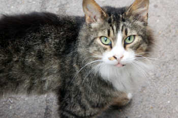 An old tabby cat with a white nose and chest looking up at the camera