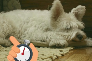 Westie Dog sleeping on a rug on a wooden floor and being timed