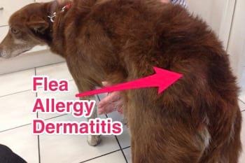 Dog with flea allergy dermatitis