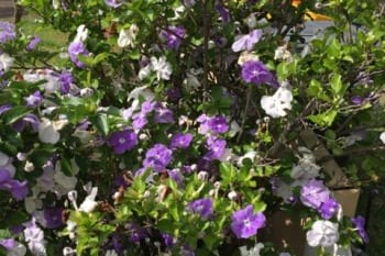 A brunsfelsia shrub