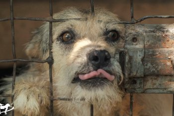 cute dog peeking from behind a gate and sticking their head out a hole and licking their lips