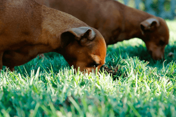 2 dachshund dogs with their heads buried into grass as they eat it