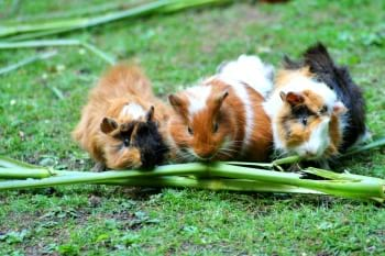 3 little guinea pigs on green grass chewing on a green stick vegetable