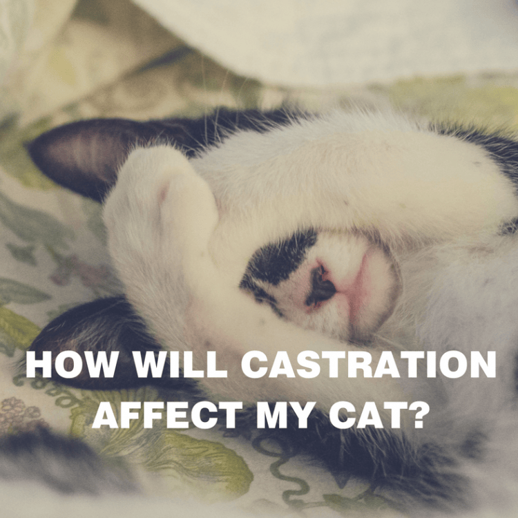 How will castration affect my cat? (black and white cat covering eyes with paws)