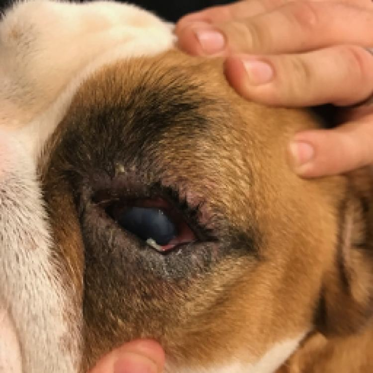 sore eye in a dog