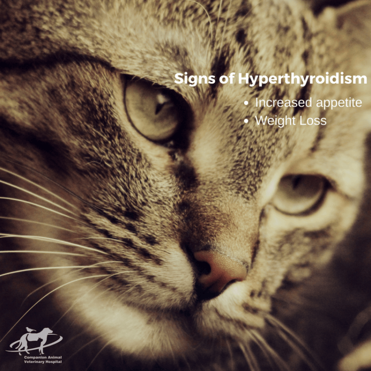 The signs of hyperthyroidism are increased appetite and weight loss. There is an old tabby cat's head looking to the lower right.