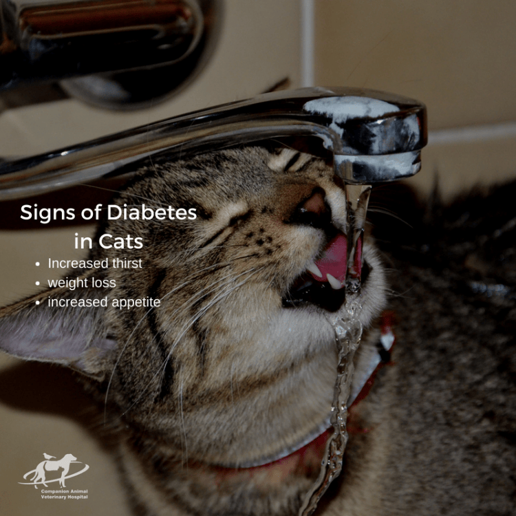 Signs of diabetes in cats, increased thirst, increased appetite and weight loss. There is a tabby cat drinking from a tap