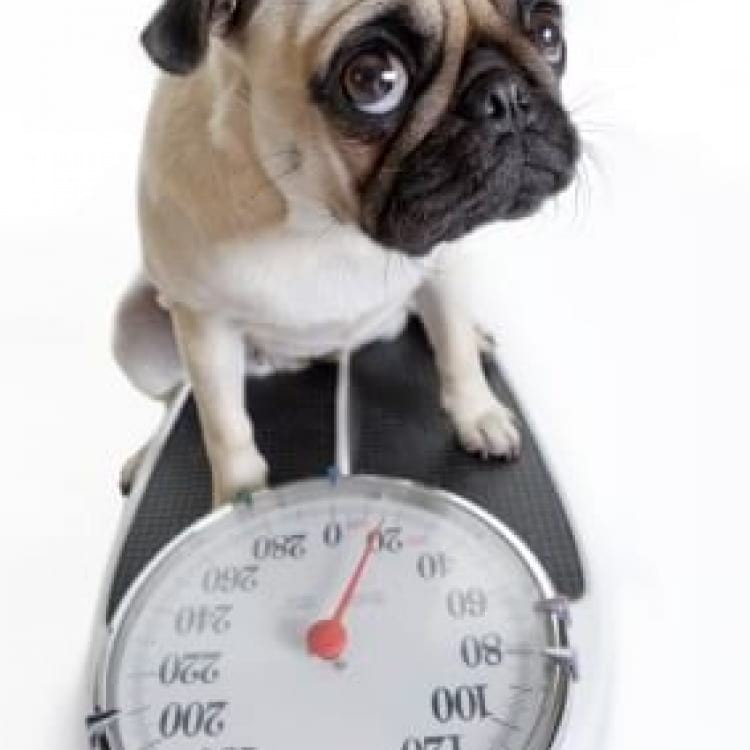 Pug on scales