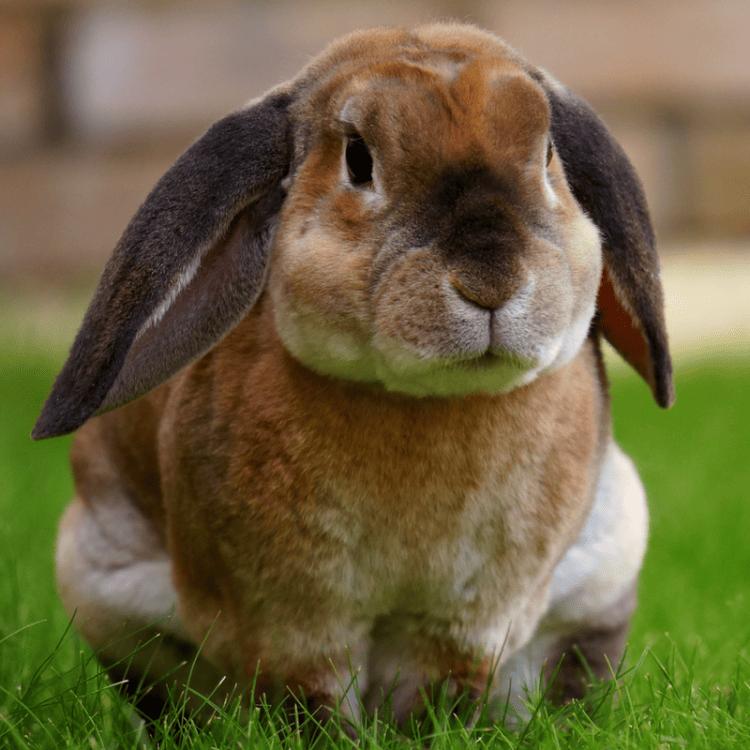A rex rabbit