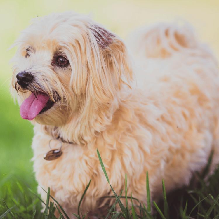 Overweight fluffy cream dog