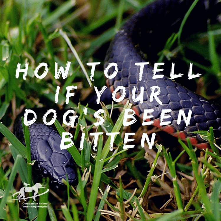 A red belly black snake in green grass with the caption: How to tell if your dog's been bitten